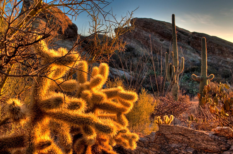 Cholla at sunset, Saguaro National Park, Arizona
