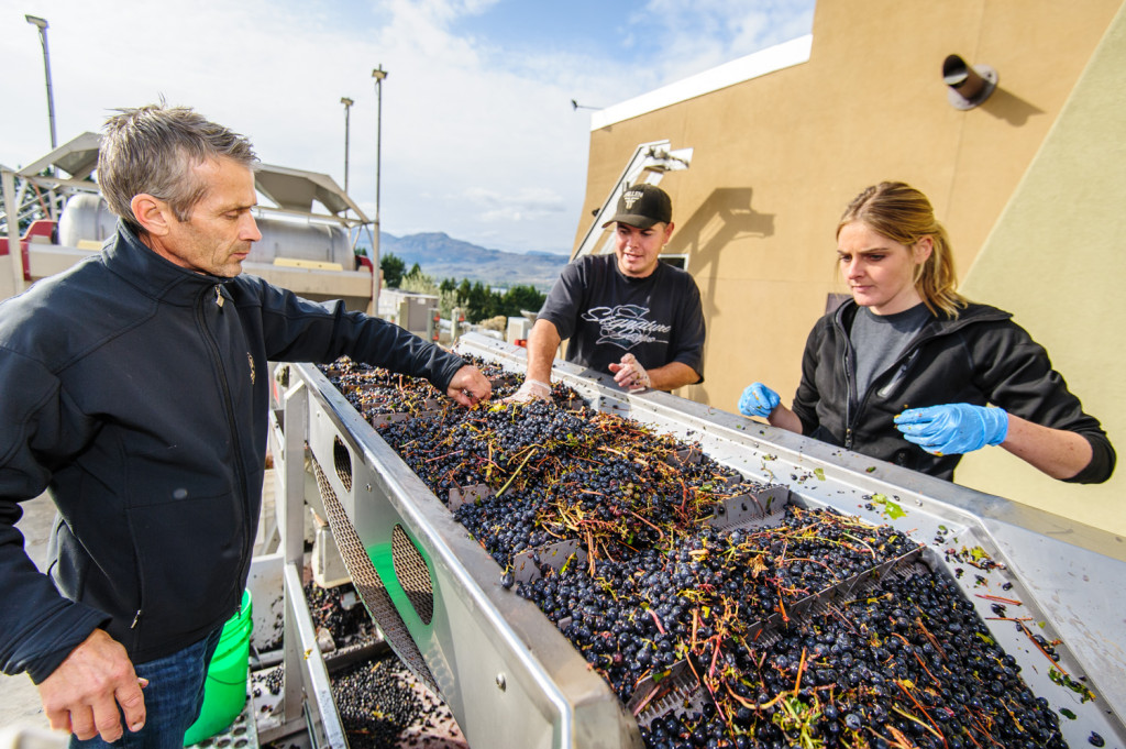 Randy Picton (left), winemaker at Nk'Mip Cellars, lends a hand removing stems from grapes on a conveyor. While most grapes at Nk'Mip are harvested by hand, this batch was machine picked, a process that results in more stems. Also helping are Justin Hall and Sarah Elsom. (Richard McGuire photo)