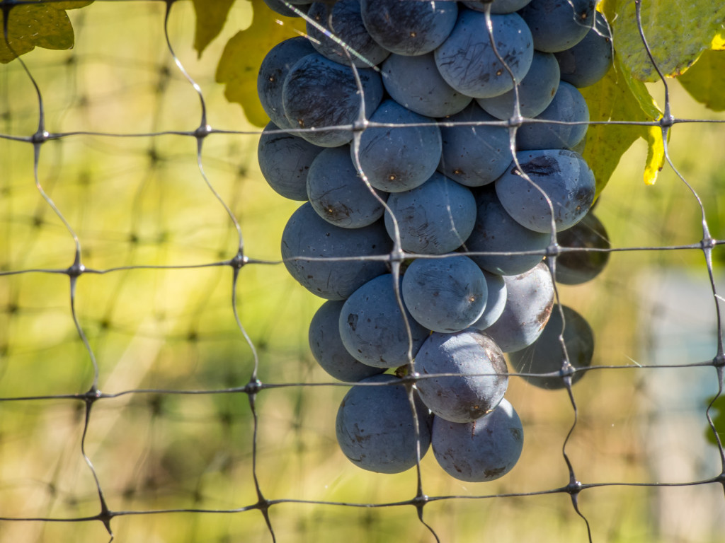 Grapes ripen in a vineyard, soaking up rays of mid-October sun. (Richard McGuire photo)