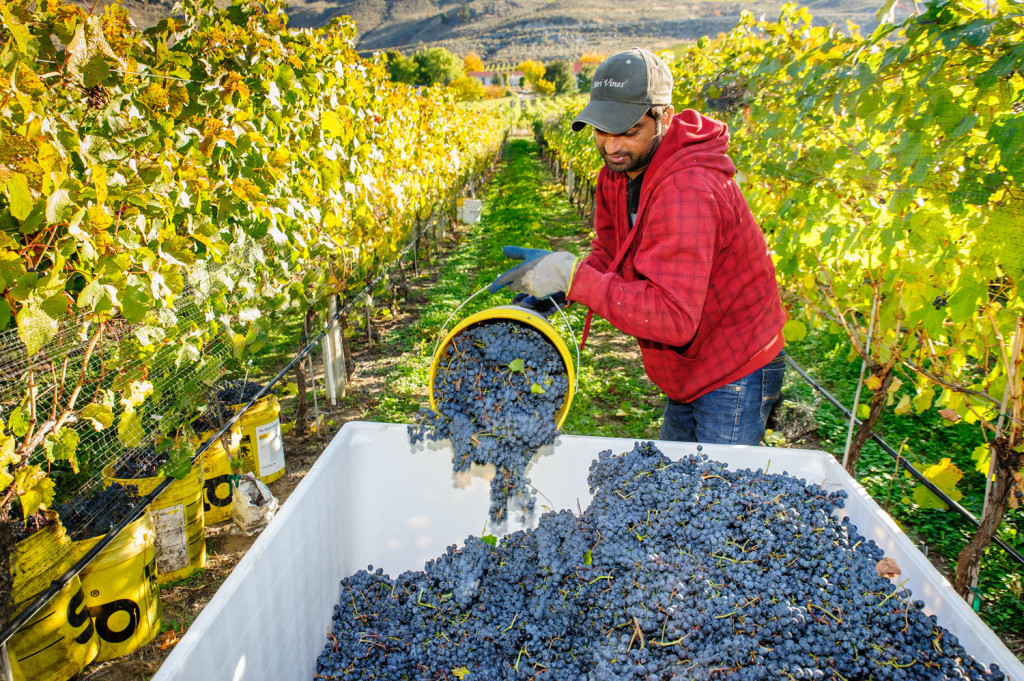 Kuldeep Dhaliwal empties a pail of grapes into a bin at GK Farm on the East Bench of Osoyoos. The farm supplies grapes to Moon Curser Vineyards. (Richard McGuire photo)
